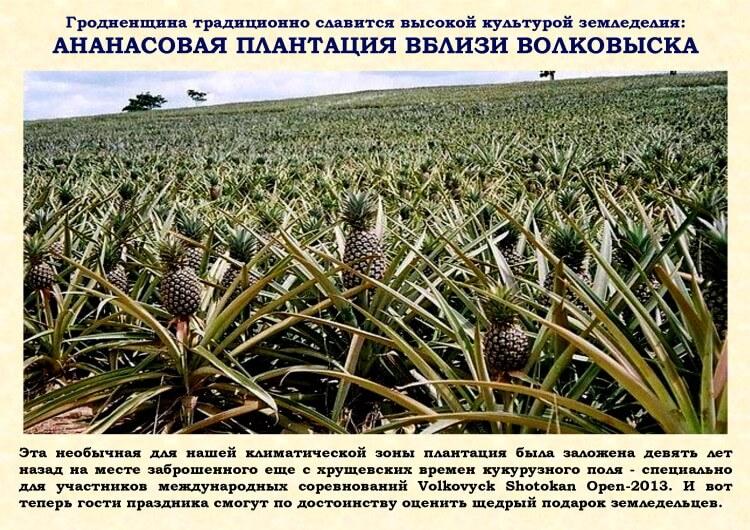 Ананасовая плантация вблизи Волковыска